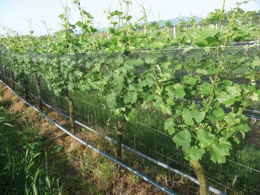 Schutznetze im Weinbau Heftarbeiten