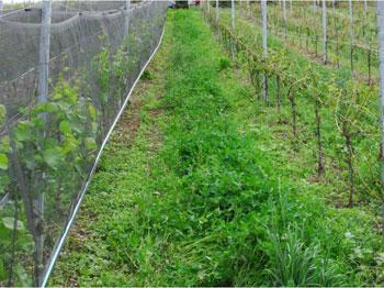 Schutznetze im Weinbau Hagelschlag