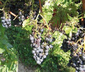 Schutznetze im Weinbau Vogelfraß
